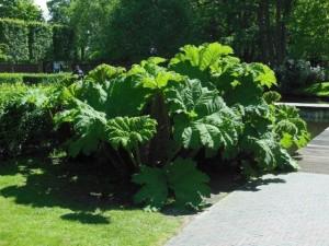 Купить семена, растение – Гуннера рукавчатая, или Гуннера влагалищная (Gunnera manicata)