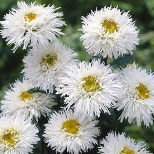 """Купить семена, растение – Ромашка (нивяник) махровая """"Крейзи Дейзи"""" (Leucanthemum superbum Crazy Daisy)"""