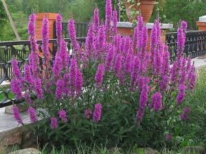 Купить семена, растение – Дербенник розовый Самоцвет, или Дербенник иволистный, Плакун-трава (Lythrum salicaria)
