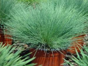 Купить семена, растение – Булавоносец Колючий голубой, Булавоносец голубой, или Булавоносец седоватый (Corynephorus canescens)
