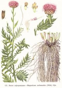 Купить семена, растение – Левзея сафлоровидная, или Рапонтикум сафлоровидный, Большеголовник сафлоровидный, Стемаканта сафлоровидная, Маралий корень (Rhaponticum carthamoides)