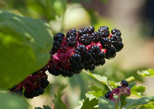 Купить семена, растение – Лаконос американский, или Фитолакка американская (Phytolacca americana)