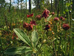 Купить семена, растение – Сабельник болотный (Comarum palustre)