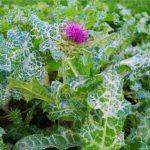 Купить семена, растение – Расторопша пятнистая (Silybum marianum, синонимы: Carduus marianus, Mariana mariana), сорт Дебют