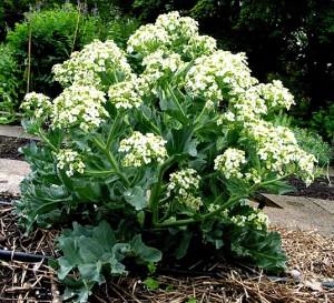 Купить семена, растение – Катран (хрен татарский) Аккорд, или Катран приморский (Crambe tataria)