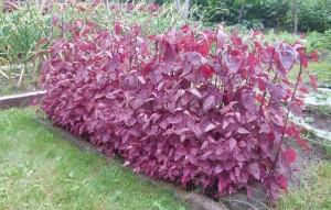 Купить семена, растение – Лебеда садовая красная (Atriplex hortensis)