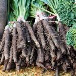 Купить семена, растение – Скорцонера лечебная, или Козелец, Скорцонер, Черный корень, Черная морковь, Сладкий корень (Scorzonera hispanica)