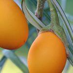 """Купить семена, растение – Баклажан декоративный """"Золотое яйцо"""" (Golden eggs), Баклажан, или Бадриджан, Бубриджан, Паслён тёмноплодный (Solanum melongena)"""