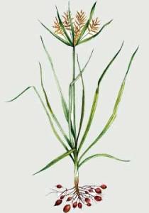 Купить семена, растение – Чуфа, или Сыть съедобная, земляной миндаль, тигровый орех (Cyperus esculentus)