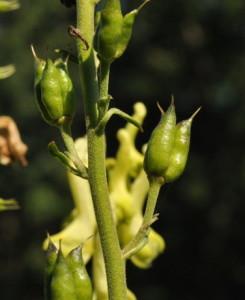 Купить семена, растение – Борец киринский, или Аконит киринский, Борец гиринский (Aconitum kirinense)