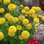 """Купить семена, растение – Матрикария исключительная """"Золотко"""" (Matricaria eximia)"""