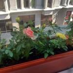 Как адаптировать миниатюрную розу после покупки