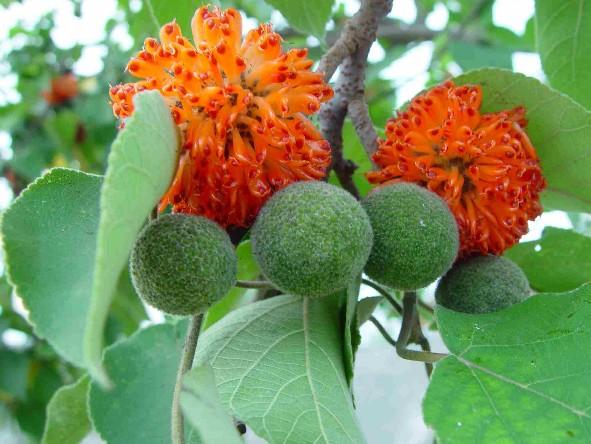 Купить семена, растение – Бруссонетия бумажная, или Японское бумажное дерево (Broussonetia papyrifera)