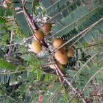 Купить семена, растение – Филлантус эмблика, или Амла, Амалаки, Индийский крыжовник, Эмблик, Миробалан серый (Phyllanthus emblica, syn. Emblica officinalis)