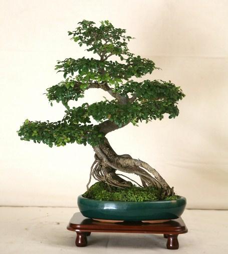 Купить семена, растение – Дзельква (Зельква) японская, или Пильчатая, Японский Вяз (Zelkova Serrata)