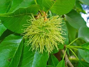 Купить семена, растение – Маклюра оранжевая, или маклюра яблоконосная (Maclura pomifera)