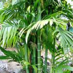 Купить семена, растение – Арека триандра, или Арека трёхтычинковая (Areca triandra)