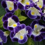 Купить семена, растение – Торения Дюшес Блю энд Вайт (Torenia)