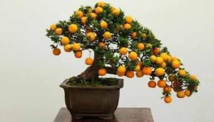 Купить семена, растение – Кумкват, или Фортунелла, Кинкан (Fortunella)
