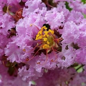 Купить семена, растение – Лагерстремия индийская, или индийская сирень (Lagerstroemia indica)