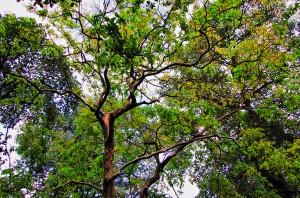 Купить семена, растение – Лагерстремия изящная, или Банаба, Лагерстремия Красивая (Lagerstroemia speciosa)