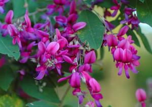 Купить семена, растение – Леспедеца двуцветная (Lespedeza bicolor)