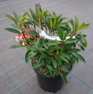Купить семена, растение – Кальмия широколистная, или горный лавр (Kalmia latifolia)