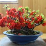 """Купить семена, растение – Айва японская """"Salmon"""""""