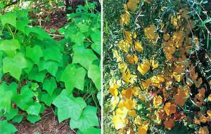 Купить семена, растение – Луносемянник даурский, амурский плющ (Menispermum dauricum)