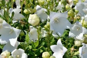 Купить семена, растение – Платикодон Крупноцветковый белый (Platycodon grandiflorus)