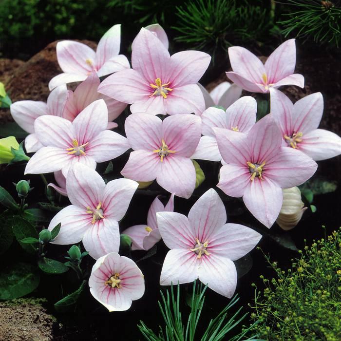 Купить семена, растение – Платикодон Крупноцветковый розовый (Platycodon grandiflorus)