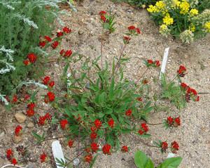 Купить семена, растение – Язвенник целебный, или Антиллис, Зольник (Anthyllis)