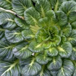 Купить семена, растение – Капуста китайская Татсой, или Та-цой, Татцой, Тах Цай, Розочковидная Пак Чой (Tatsoi)