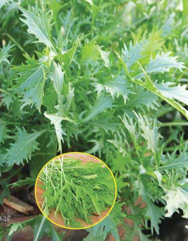 Купить семена, растение – Капуста японская Русалочка (Brassica rapa ssp. nipposinica)