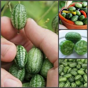 Купить семена, растение – Мелотрия шершавая Малютка (Melothria scabra)