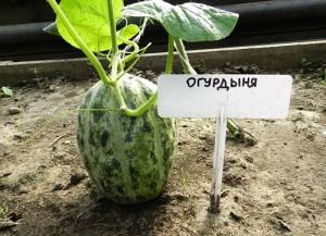 Купить семена, растение – Огурдыня Нектарин (мандурия)