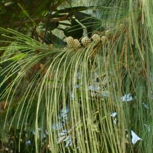 Купить семена, растение – Казуарина хвощевидная (Casuarina equisetifolia)