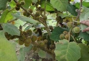 Купить семена, растение – Наранхилла, или Solanum quitoense, Наранхилья (Золотой плод Анд, Апельсиновый томат)