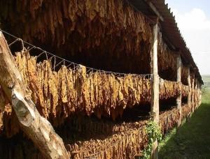 Купить семена, растение – Махорка Русская, Махорка (Nicotiana rustica)