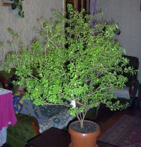 Купить семена, растение – Туласи, или Базилик тонкоцветный, Базилик священный (Ocimum sanctum, Ocimum tenuiflorum)