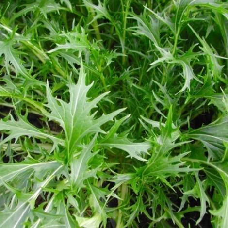 Японская листовая капуста Мизуна, или Мицуна (Brassica rapa ssp. nipposinica var. laciniata)