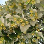 Купить семена, растение – Липа войлочная, или Липа пушистая, Липа серебристая, Липа венгерская (Tilia tomentosa)