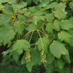 Купить семена, растение – Клен желтый, или Клен-береза (Acer ukurunduense)