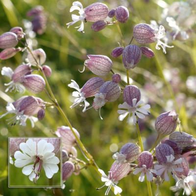 Купить семена, растение – Смолевка обыкновенная, или хлопушка (Silene vulgaris)