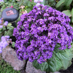 Купить семена, растение – Гелиотроп Морской бриз, или Солнцепоклонник (Heliotropium)