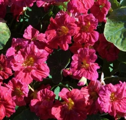 """Купить семена, растение – Настурция, или Капуцин (Tropaeolum), Настурция """"Черри"""" (Tropaeolum nanum Top flowering double Cherry)"""