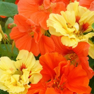 Купить семена, растение – Настурция, или Капуцин (Tropaeolum), Настурция Махровая смесь (Tropaeolum majus nanum)
