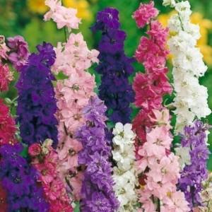 Купить семена, растение – Дельфиниум высокий микс