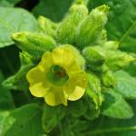 Махорка деревенская, Nicotiana rustica