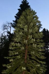 Рис. 18, 19. Wollemia nobilis (Araucariaceae)
